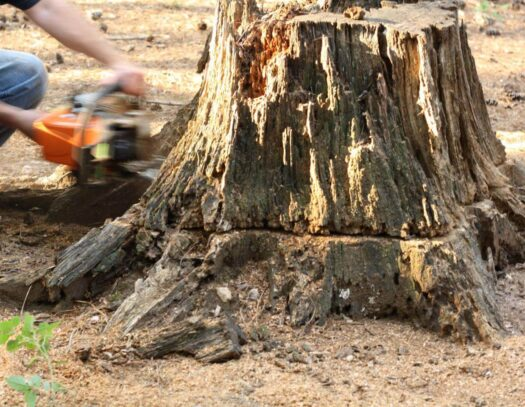 Stump Removal-Country Club FL Tree Trimming and Stump Grinding Services-We Offer Tree Trimming Services, Tree Removal, Tree Pruning, Tree Cutting, Residential and Commercial Tree Trimming Services, Storm Damage, Emergency Tree Removal, Land Clearing, Tree Companies, Tree Care Service, Stump Grinding, and we're the Best Tree Trimming Company Near You Guaranteed!
